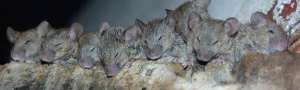 Do mice infestations smell